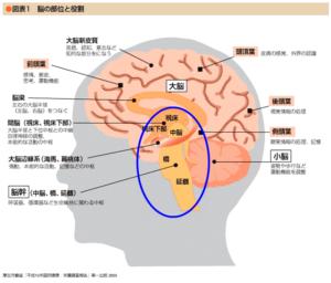 脳幹(図)